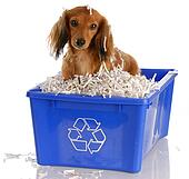 long haired miniature dachshund sitting in blue recycle bin. Black Bedroom Furniture Sets. Home Design Ideas