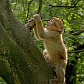 Danse sauvage de singe nue