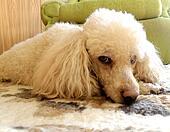 标准 长卷毛狗 图片和图像。 274 标准 长卷毛狗