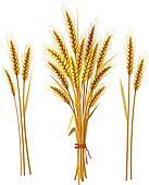 Колосок пшеницы картинки для детей