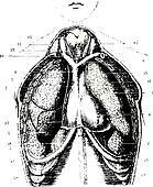 clip art of lung pleura and pleural cavity k11016137
