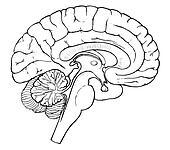 Gehirn Clip Art und Illustrationen. 10.920 gehirn Clipart ...