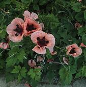 Papaver Orientale stock photos and images